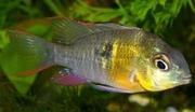 аквариумные рыбки - апистограмма альтиспиноза