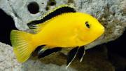 аквариумные рыбки - лабидохромис колибри