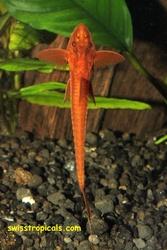 аквариумные рыбки - лорикария