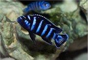 аквариумные рыбки - псевдотрофеус демасони