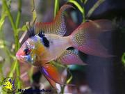 Аквариумные рыбки - апистограмма рамирези