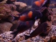 Аквариумные рыбки - трофеус бэмби
